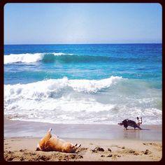 Corgi beach day. Bathing under the sun.