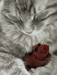 anim, kitten, maine coon cats, color, red roses, sweet girls, kitti, kitty, cat lovers