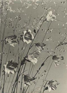 Max Baur  'Campanula with Grass'  1930s