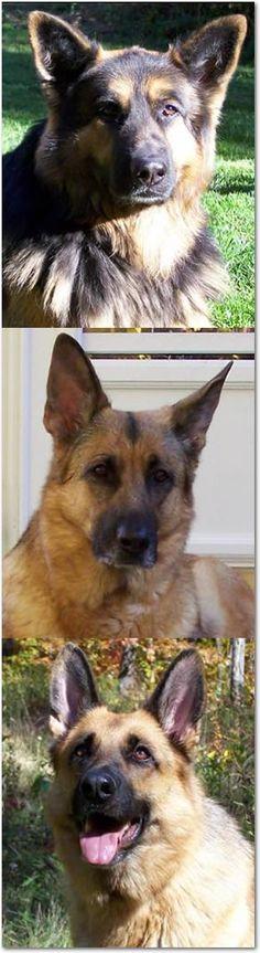 My Xander. German Shepherd, Chow, Great Pyrenees ...