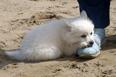 American Eskimo puppy.