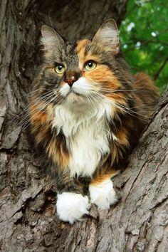 Maine Coon cat, Sprinky.