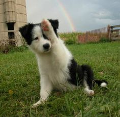 border collie..give me now