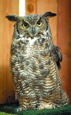Great Horned Owl Pinned by www.myowlbarn.com