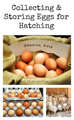 Collecting & Storing Eggs for Hatching