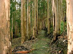 Eucalyptus grove - Capitola CA
