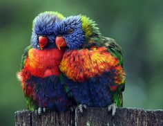 Lean on Me by Lesley Smitheringale, nationalgeographic: Rainbow lorikeets in Redlands, Queensland, Australia. #Lesley_Smitheringale #nationalgeographic #Rainbow_Lorikeet #Birds #Photography