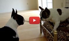 Watch this Negociation for the Bed between a Boston Terrier and a French Bulldog! ► http://www.bterrier.com/?p=1016