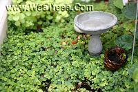 awesome web site to buy the tiniest living plants for a tiny fairy garden. www.weetrees.com