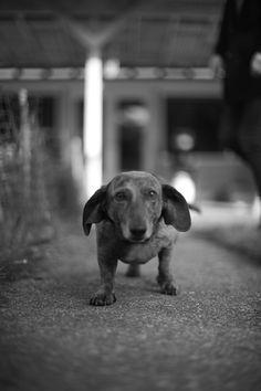 Old dachshund. Love.