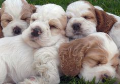 I want one!  Google Image Result for http://www.puppy-4-sale.net/English-Cocker-Spaniel-Puppies.jpg