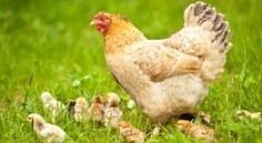 All About Chickens :) Raising Chickens, Coop Plans, Chicken Breeds, Laying Hens, Etc.