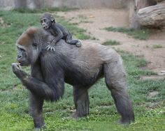 Giddy Up #gorilla  Photo by Angie Bell