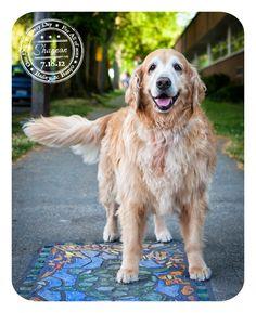 Shannon - July 18 - Golden Retriever in West Seattle