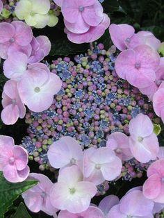 Hydrangea / Hortensia