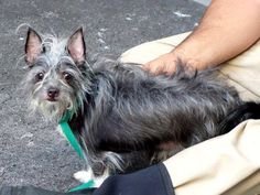 TO BE DESTROYED 8/29/14 Manhattan Center   My name is CAMERON. My Animal ID # is A1010189. I am a neutered male black and gray yorkshire terr and chihuahua lh mix. The shelter thinks I am about 7 YEARS old.  I came in the shelter as a STRAY on 08/11/2014 from NY 10027, owner surrender reason stated was STRAY.   https://www.facebook.com/Urgentdeathrowdogs/photos/a.611290788883804.1073741851.152876678058553/861900990489448/?type=3&theater