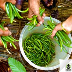 Did you know this is what freshly picked vanilla pods look like? Press 'like' if you're thankful that #FairTrade #vanilla farmers get a fair price for their hard work.