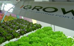 Green sweet crisp and red butter lettuce, grown with our 400 watt induction light. #hydroponics #growlights