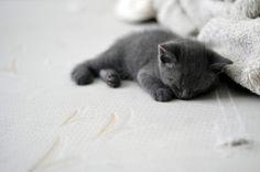 I want a little grey kitten please