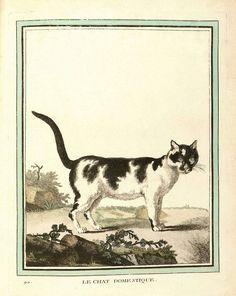 Le chat domestique - Georges-Louis Leclerc de Buffon. L'histoire Naturelle, Les quadrupèdes.