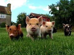 Micro Pigs?