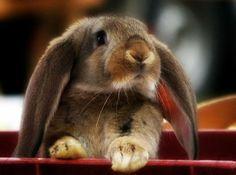 * honey bunni, rabbit, animal ador, pet bunnies, lapin, awww anim, ears, ador anim, floppi ear