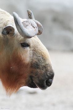 Takin. The takin (Budorcas taxicolor), also called cattle chamois or gnu goat, is a goat-antelope found in the eastern Himalayas. The takin is the national animal of Bhutan
