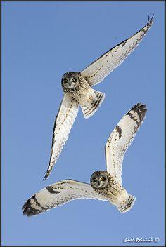 Short Eared Owl Pinned by www.myowlbarn.com