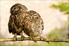 owls cuddle hugs