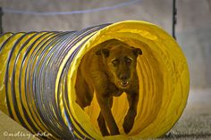 Canine Agility Trial, Albuquerque NM. An All American Dog exiting a tunnel