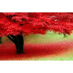 stunning red trees, color