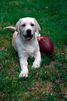 Labrador Retriever after the game. #puppied
