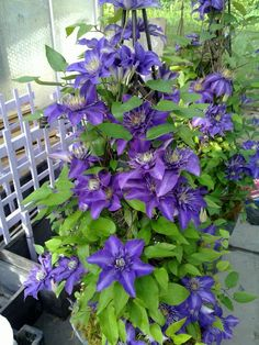 Clematis Multi-Blue.  This is gorgeous!  4-5 inch large, velvety blue-purple flowers. Height around 8 ft.  Fast growing vine.