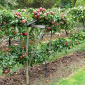 Great article about Espalier trees