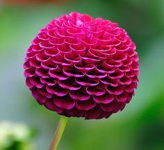 Dahlia lollipop