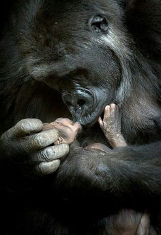 A Mothers Love. Gorillas