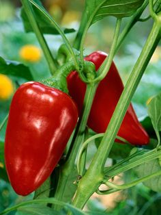 Organic Gardening tips for growing peppers. I have bell, habanero  peppers growing now. These tips are so useful to higher yields & healthier peppers