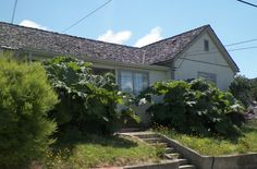 House with 2 gunnera manicata trees in their yard. Can't wait to get sand, make a cement casting/stone...