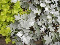 Perennial in zone 5!  ~ Love the silver foliage~ Dusty Miller, Beach Sage, Beach Wormwood 'Silver Brocade'  Artemisia stelleriana