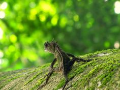 madasamarinebiologist:  …possibly a female Greater Anglehead [Genus: Gonocephalus] Photo | handibles