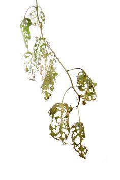 beetle eaten leaves (mary jo hoffman)