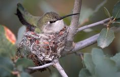This hummingbird nest shows spider webs in use.Photo © Laurence Sloma