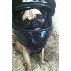 Little pug says: Safety first!    Always wear a helmet when you go out for a training bike ride!