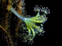 Kaleidoscope jellyfish (Haliclystus auricula). While other jellies may opt to float around in the open seas, this 8-armed, stalked jellyfish attaches itself on algae and seagrasses.  Clusters of 100 short tentacles adorn each arm and can be found in the waters of the Northern Hemisphere. Amazing!