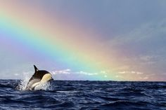 rainbow ahead for this hourglass dolphin
