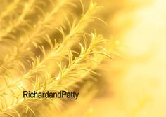 Rosemary Yellow Plant  Wall Art  Fine Art by RichardandPatty, $15.00 Rosemary is usually a green plant with tiny little blue flowers but this photographer did some magic and turned the image into a fine art print. https://www.etsy.com/listing/171523188/live-laugh-love-inspirational-wall-art Give the gift of a fine art print for any special occasion like a birthday, valentines day, mothers day or other special days for celebrating.