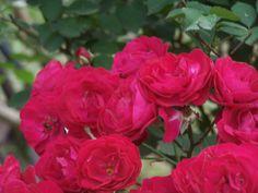 Tim spent many summer days under his favorite climbing rose.