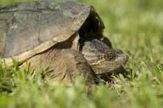 Boy Turtles are Cooler:  Temperature affects the gender of snapping turtles. Females hatch from eggs that experience hotter weather.   Xplor