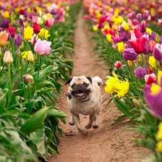 happy pug in a field of tulips