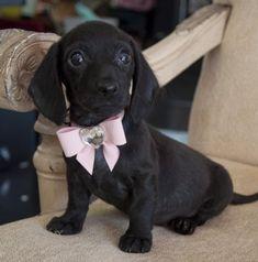 A miniature dachshund puppy. Beyond adorable.